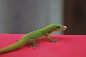 big island hawaii gecko