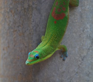 big island hawaii gecko