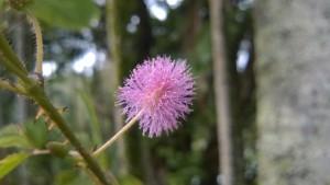 big island hawaii purple fluffy flower