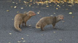 big island hawaii mongoose