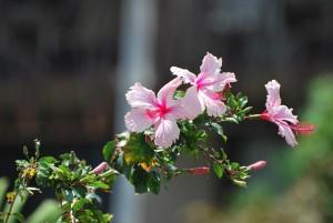 big island hawaii pink and red flowers