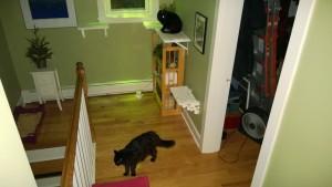 bonkers stalking birdie on the upstairs hall cat platforms
