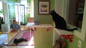 birdie on her new downstairs hall cat platforms, with darwin in the background