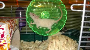 baby rat aloha - a cream and beige rex with curly hair