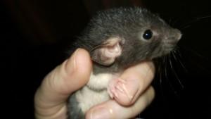 baby rat lava - a dark grey dumbo