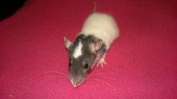 baby rat nibbler - a white and dark grey hooded