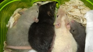 the rat babies! aloha nibbler clarabell lava and kona