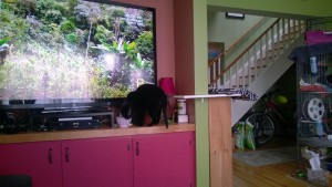 birdie investigating the new living room cat platform