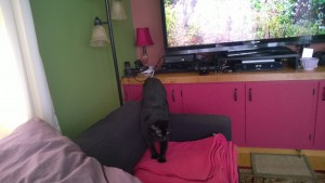 birdie investigating the new living room cat platform and couch