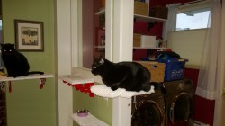 birdie and darwin enjoying the downstairs and laundry room cat platforms