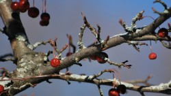 facebook photo challenge - red berries in winter tree