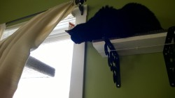 birdie enjoying the view from the living room alcove cat platforms