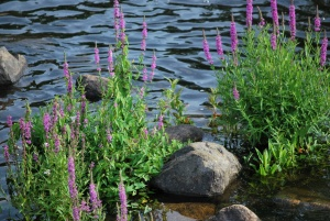 purple flowers in the ipswich river