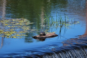painted turtle relaxing on a log in the ipswich river