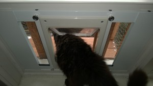 bonkers using the outdoor cat enclosure / catio cat door in the dining room window