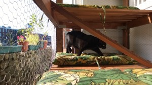 darwin testing out the outdoor cat enclosure / catio cat door and connector