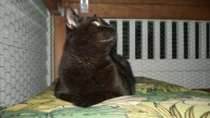 darwin enjoying a peaceful evening in the outdoor cat enclosure / catio