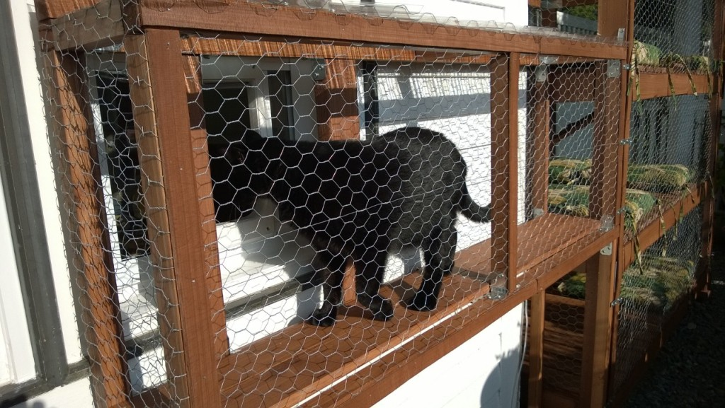 202zzzb Darwin Testing Out The Outdoor Cat Enclosure Catio Door And Connector