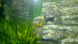 baby golddust molly fish