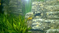 baby golddust molly fish