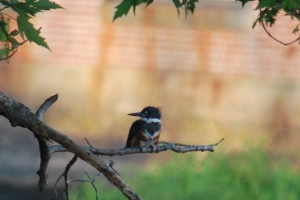 a juvenile kingfisher sitting in a tree over the ipswich river
