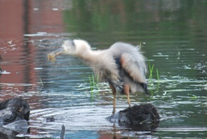 great blue heron shaking himself off like a dog after catching a fish