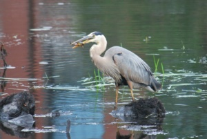 great blue heron after catching a fish