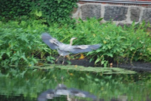 great blue heron flying to the other side of the river with his fish