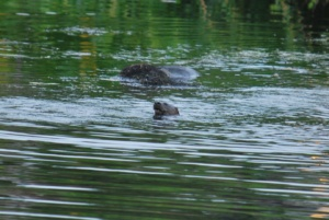 river otter playing and hunting for fish in the ipswich river