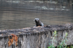 river otter climbing on top of the dry ipswich mills dam