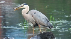 great blue heron catching fish in the ipswich river