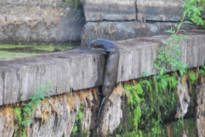 male otter scaling the dry ipswich river mills dam