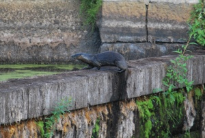 male otter on top of the very dry ipswich river mills dam