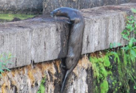 An Otter Story
