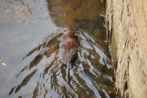 wee baby beaver swimming in the ipswich river