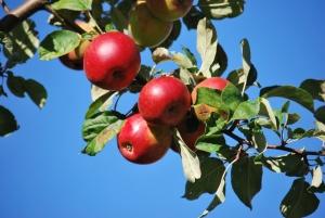 apple trees were everywhere we looked in germany
