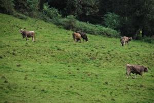 a field of cows wearing neck bells in germany
