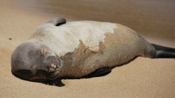 we saw a monk seal sleeping on poipu beach, kauai, hawaii