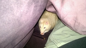 franc eating some strawberry oatmeal bar under the comforter on the couch
