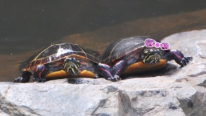 clarence & clementine painted turtle, holding hands on a rock in the ipswich river