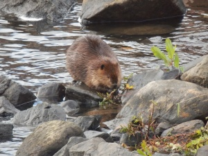 beaver eating leaves in the ipswich river