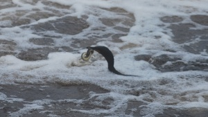 cormorant in an epic battle with a lamprey eel in the ipswich river