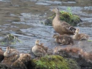 ipswich river mallard duck and babies