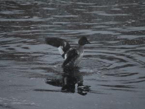 ipswich river goldeneye duck