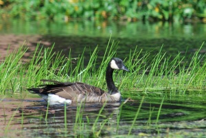 canadian goose swimming in the ipswich river