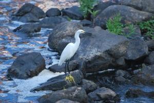 ipswich river snowy egret