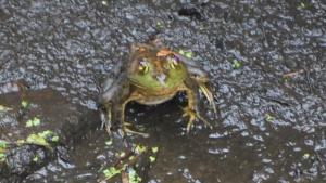 ipswich river big green frog at dusk