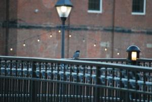 kingfisher on the ipswich riverwalk bridge