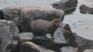ipswich river mink on the rocks