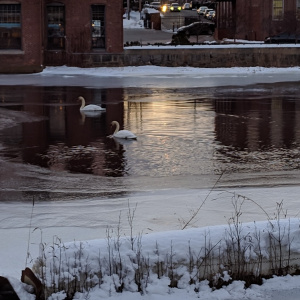 swans in the ipswich river above the dam